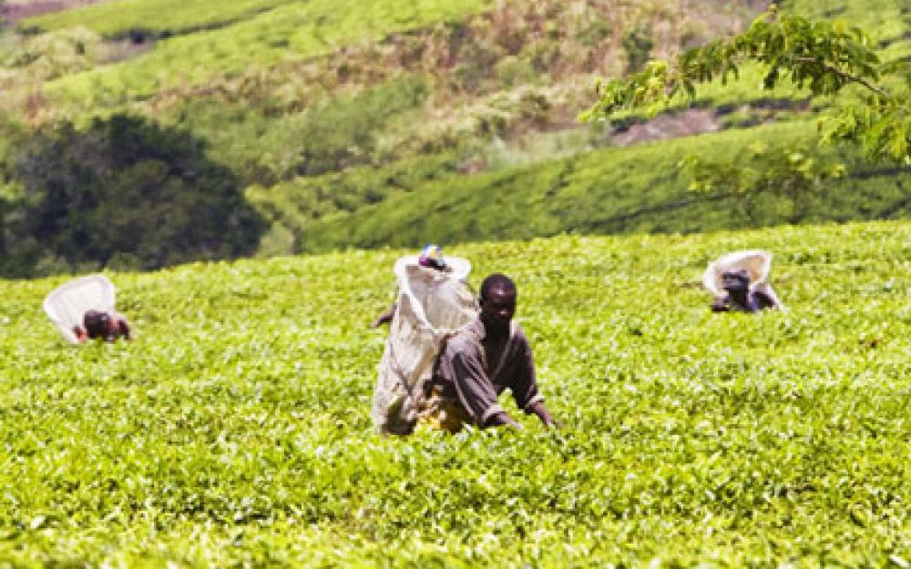 Eastern Highlands Plantation Ltd partners with Smallholder Tea Growers in Zimbabwe