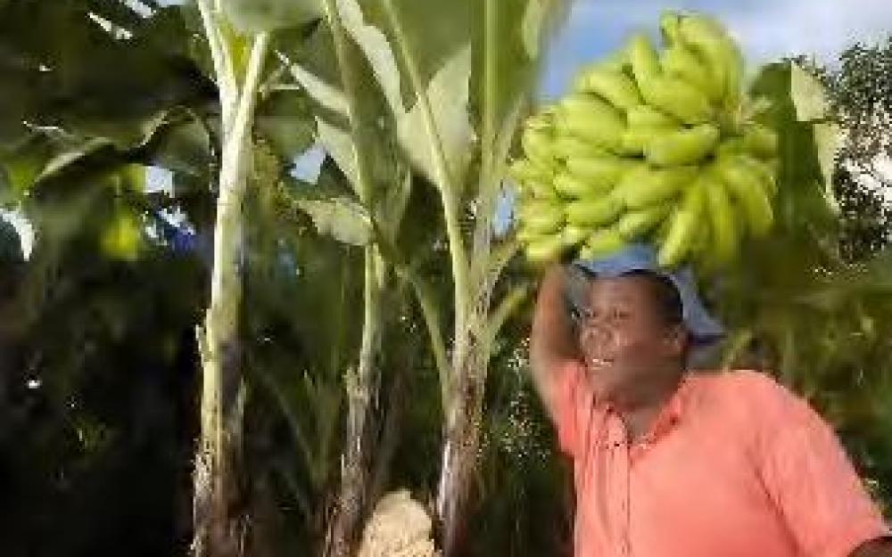 Matanuska and Smallholder Banana Farmers in Zimbabwe